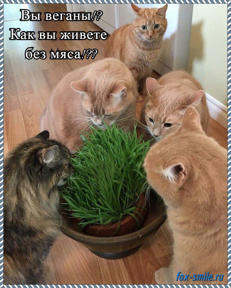 Коты вегетарианцы, мем