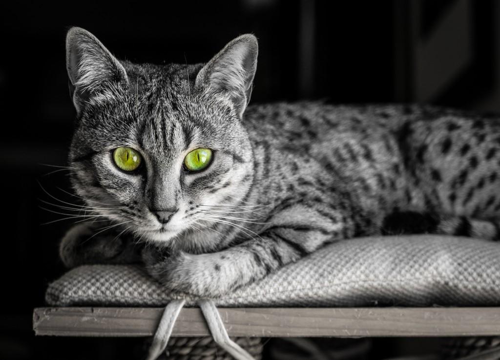 Египетской Мау, кошка
