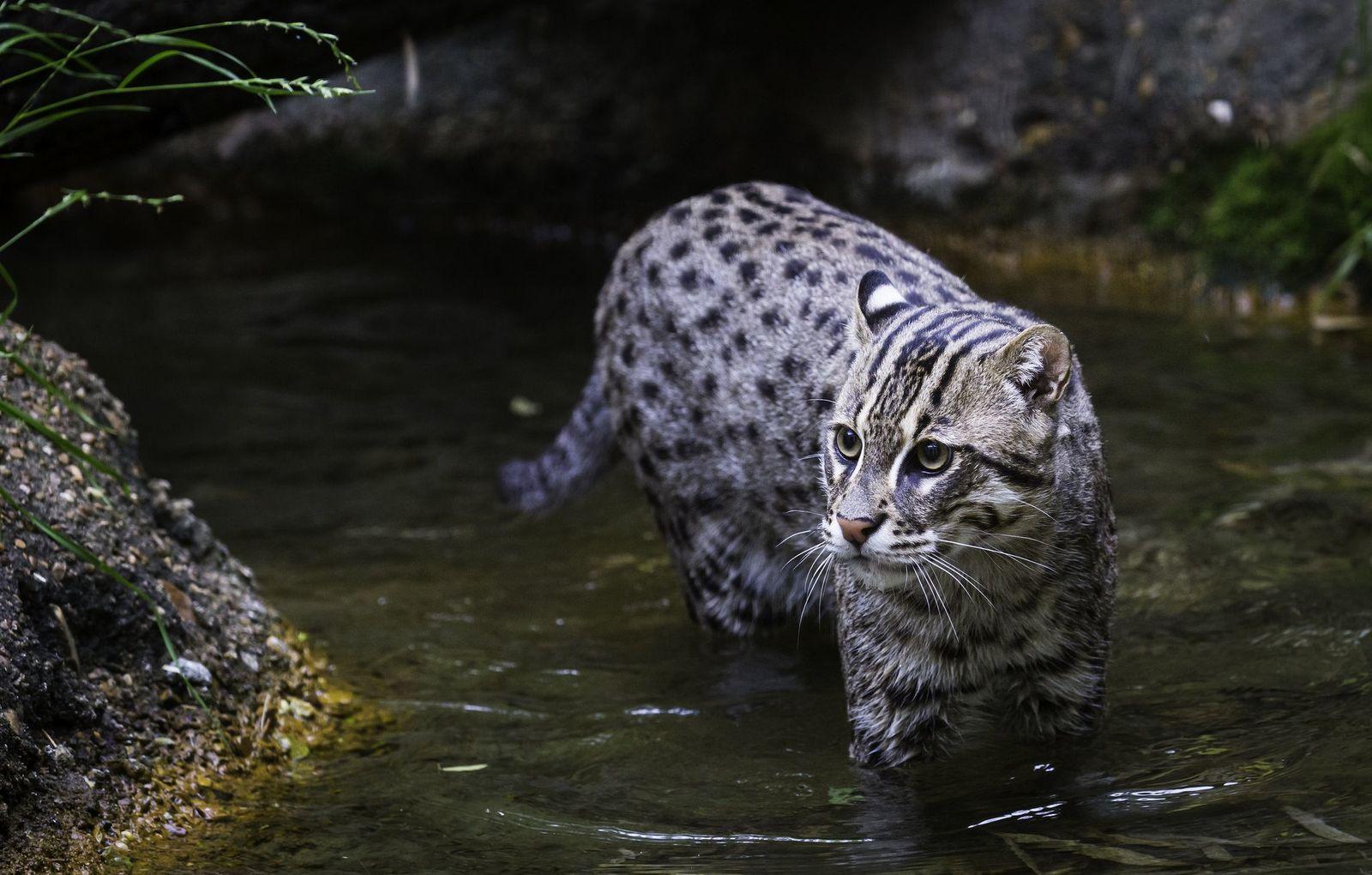 Азиатские кошки