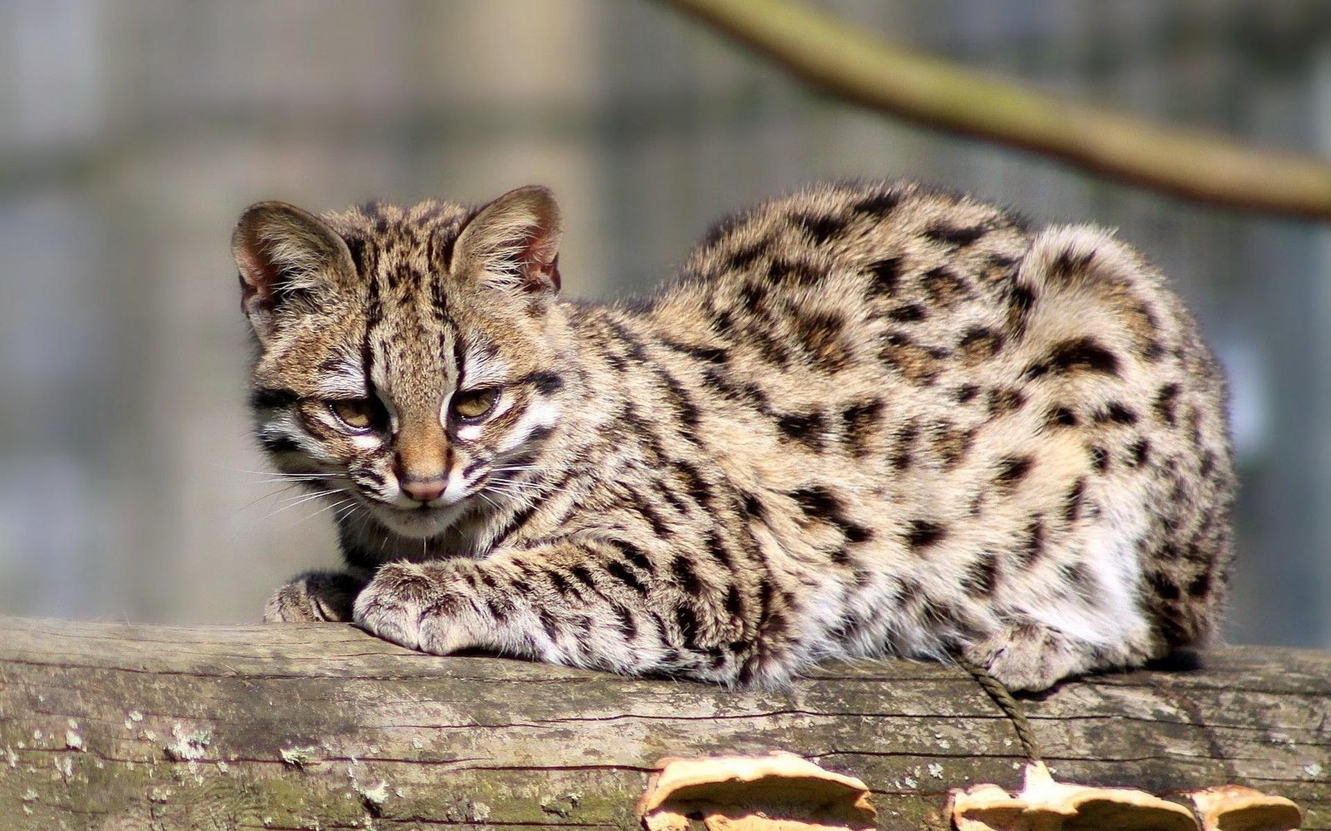 Тигровые кошки
