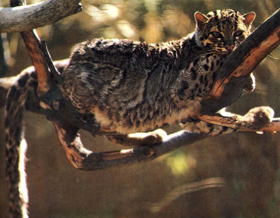 Мраморные кошки