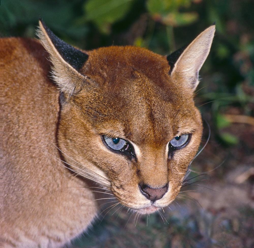 Золотистая африканская кошка