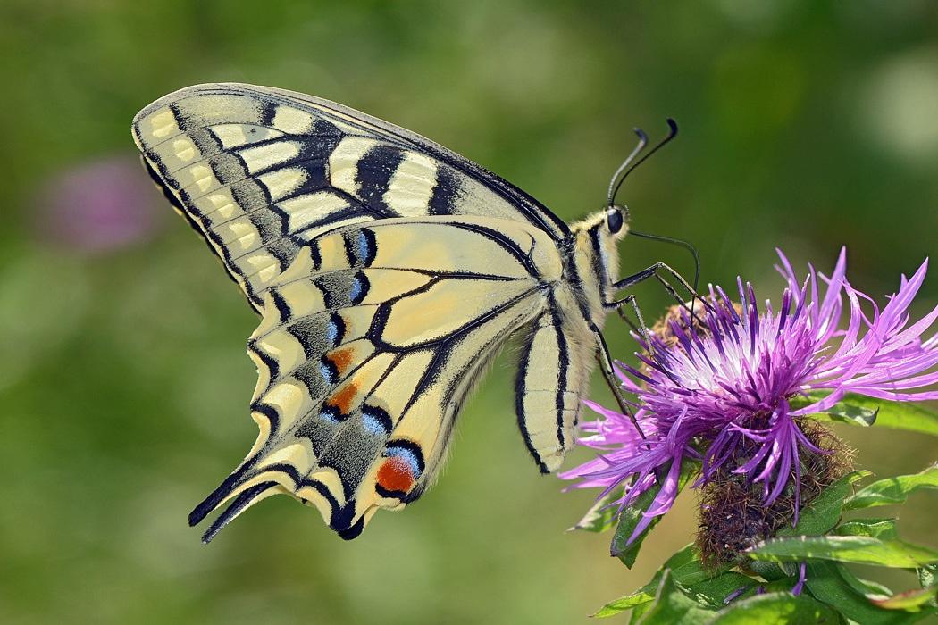 Бабочка Махаон - самка