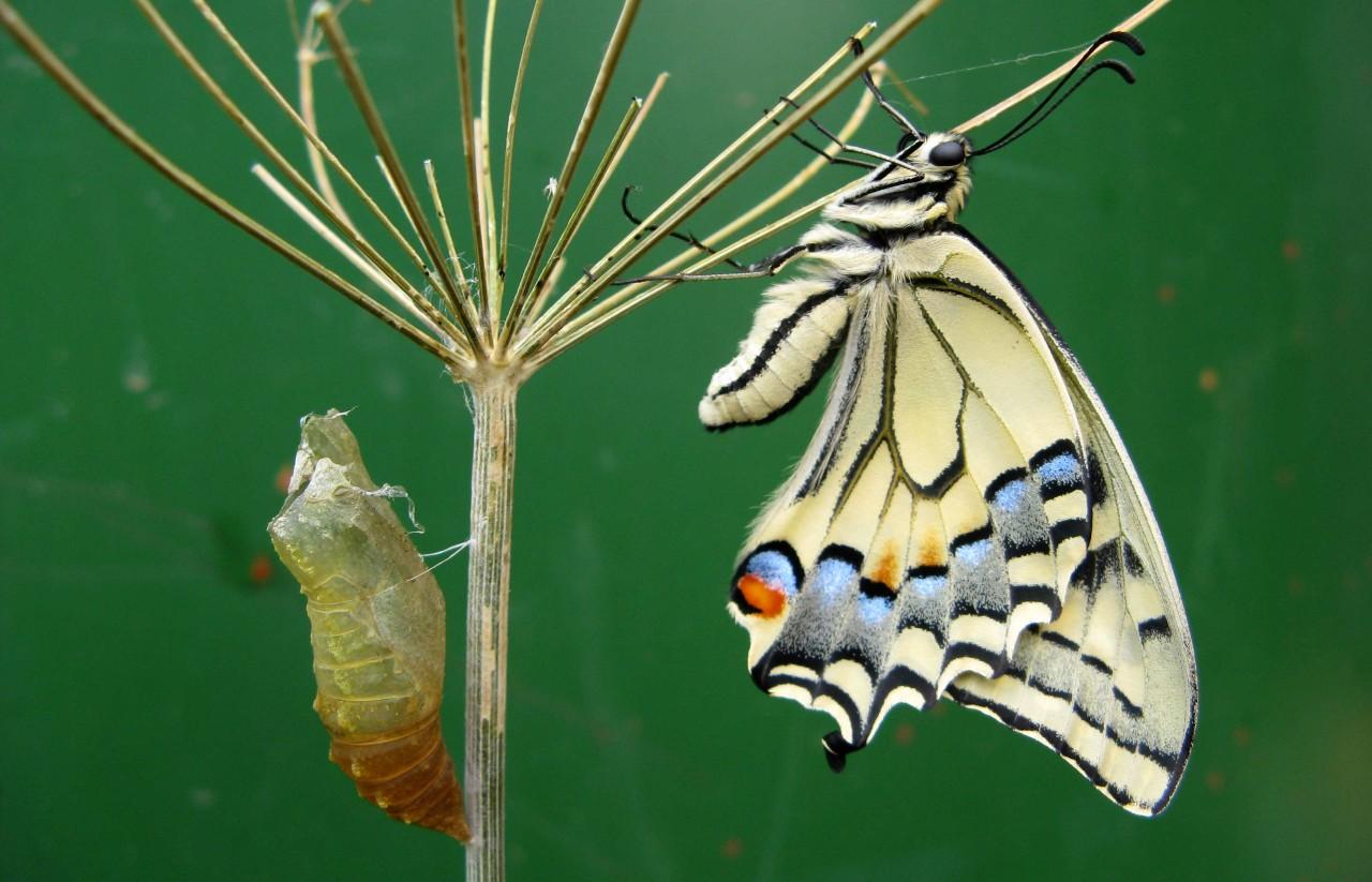 Куколка бабочки Махаона