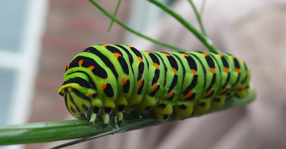 Гусеница бабочки Махаона
